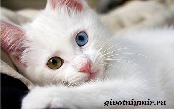 Турецкий-ван-кошка-Особенности-уход-и-цена-турецкого-вана-1