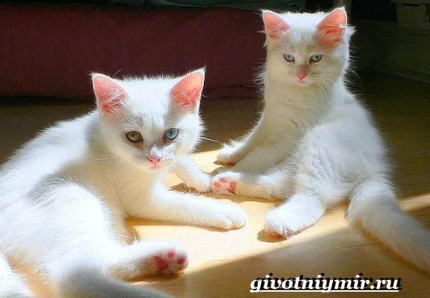 Турецкий-ван-кошка-Особенности-уход-и-цена-турецкого-вана-3