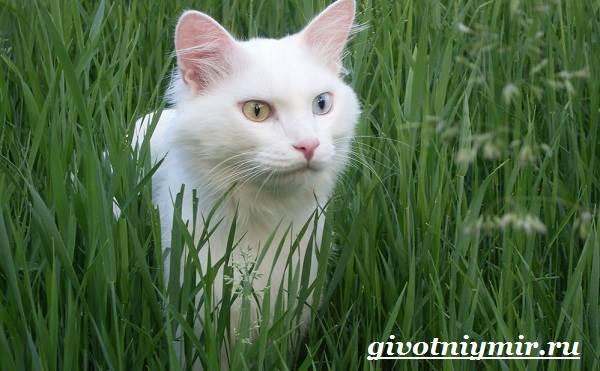 Турецкий-ван-кошка-Особенности-уход-и-цена-турецкого-вана-4