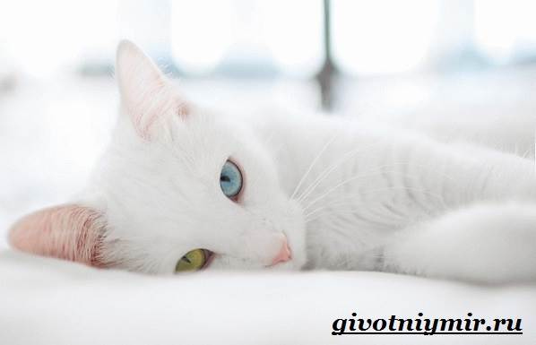 турецкий ван фото белый