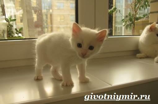 Турецкий-ван-кошка-Особенности-уход-и-цена-турецкого-вана-8
