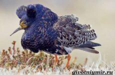 Турухтан птица. Образ жизни и среда обитания птицы турухтан