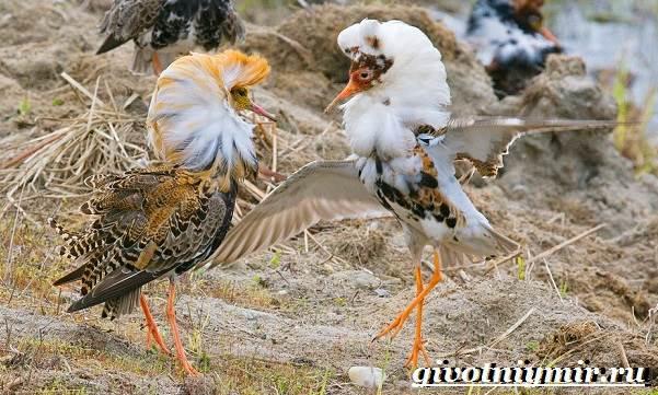 Турухтан-птица-Образ-жизни-и-среда-обитания-птицы-турухтан-6