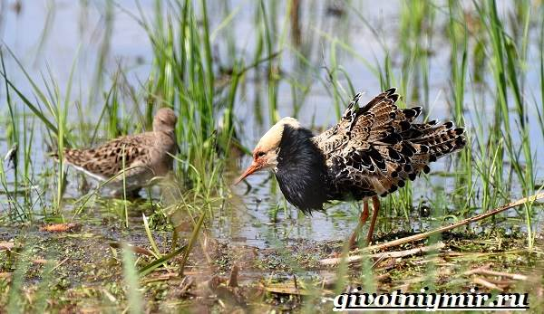 Турухтан-птица-Образ-жизни-и-среда-обитания-птицы-турухтан-8