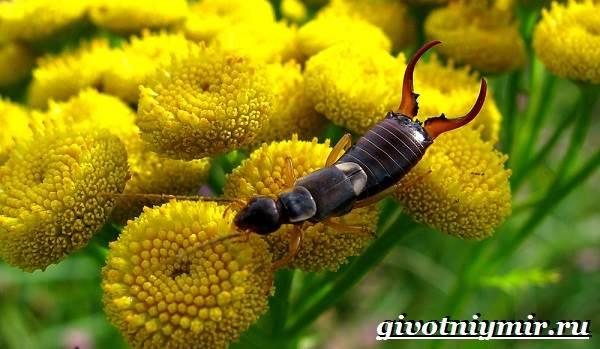 Уховертка-насекомое-Образ-жизни-и-среда-обитания-уховертки-3