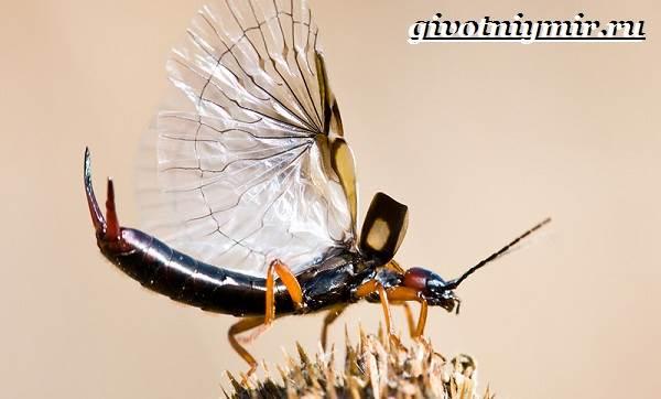 Уховертка-насекомое-Образ-жизни-и-среда-обитания-уховертки-4