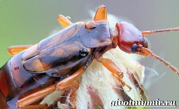 Уховертка-насекомое-Образ-жизни-и-среда-обитания-уховертки-6