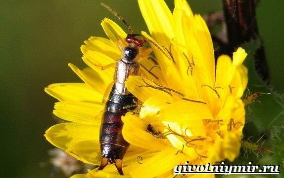 Уховертка-насекомое-Образ-жизни-и-среда-обитания-уховертки-7