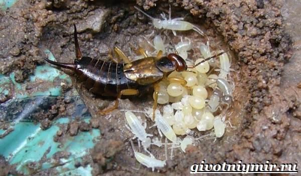 Уховертка-насекомое-Образ-жизни-и-среда-обитания-уховертки-8