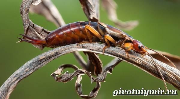 Уховертка-насекомое-Образ-жизни-и-среда-обитания-уховертки-9