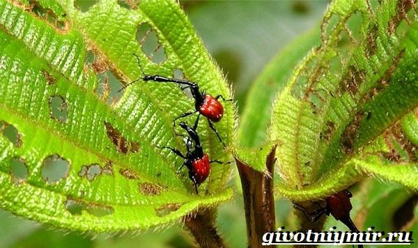 Жук-долгоносик-Образ-жизни-и-среда-обитания-жука-долгоносика-2