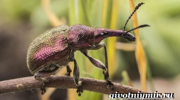 Жук-долгоносик-Образ-жизни-и-среда-обитания-жука-долгоносика-3