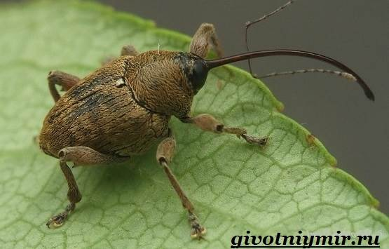 Жук-долгоносик-Образ-жизни-и-среда-обитания-жука-долгоносика-4