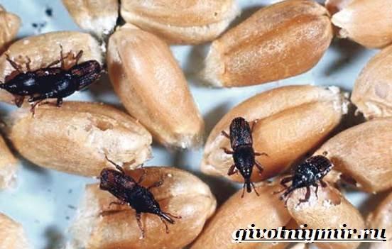 Жук-долгоносик-Образ-жизни-и-среда-обитания-жука-долгоносика-5