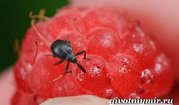 Жук-долгоносик-Образ-жизни-и-среда-обитания-жука-долгоносика-6