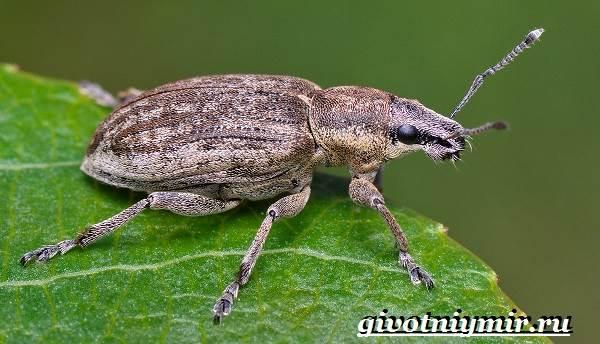 Жук-долгоносик-Образ-жизни-и-среда-обитания-жука-долгоносика-8