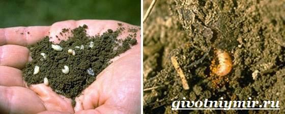 Жук-долгоносик-Образ-жизни-и-среда-обитания-жука-долгоносика-9