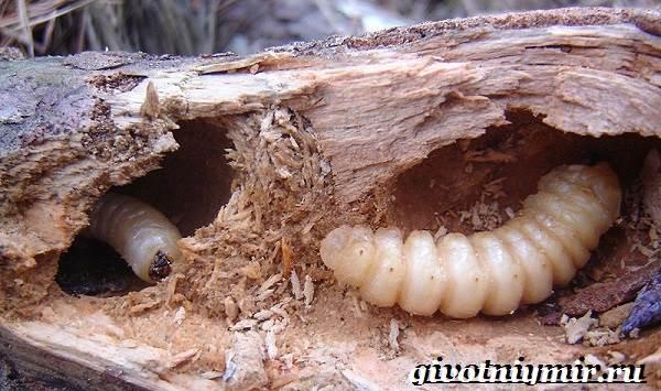 Жук-дровосек-Образ-жизни-и-среда-обитания-жука-дровосека-10