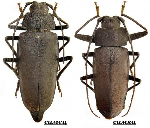 Жук-дровосек-Образ-жизни-и-среда-обитания-жука-дровосека-3