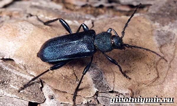 Жук-дровосек-Образ-жизни-и-среда-обитания-жука-дровосека-4