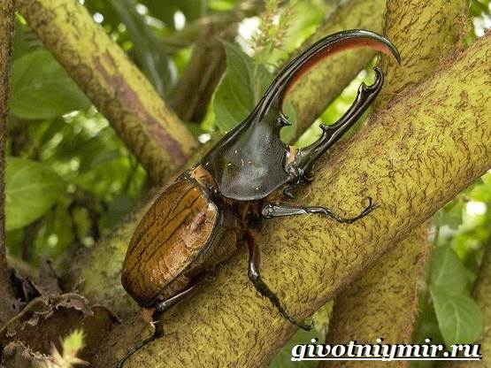 Жук-геркулес-Образ-жизни-и-среда-обитания-жука-геркулеса-6