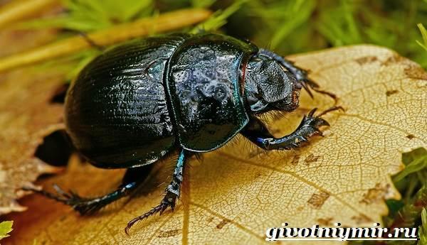 Жук-навозник-Образ-жизни-и-среда-обитания-жука-навозника-1