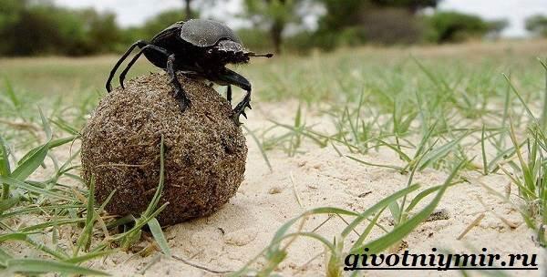 Жук-навозник-Образ-жизни-и-среда-обитания-жука-навозника-2