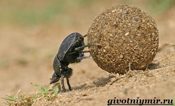Жук-навозник-Образ-жизни-и-среда-обитания-жука-навозника-3