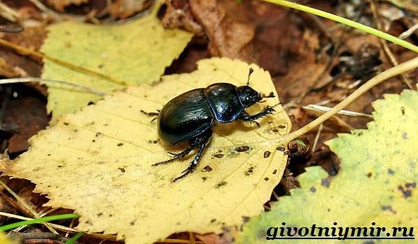 Жук-навозник-Образ-жизни-и-среда-обитания-жука-навозника-4
