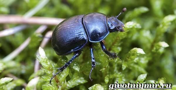 Жук-навозник-Образ-жизни-и-среда-обитания-жука-навозника-5