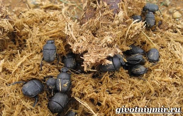 Жук-навозник-Образ-жизни-и-среда-обитания-жука-навозника-9