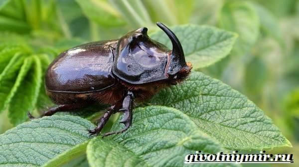 Жук-носорог-Образ-жизни-и-среда-обитания-жука-носорога-2