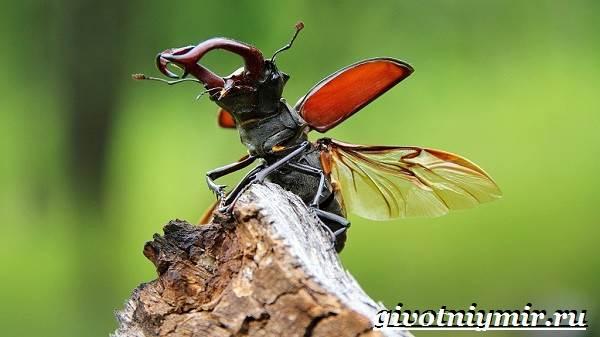 Жук-олень-Образ-жизни-и-среда-обитания-жука-оленя-3
