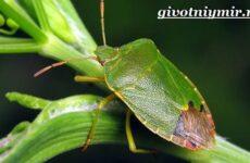 Жук вонючка. Образ жизни и среда обитания жука вонючки