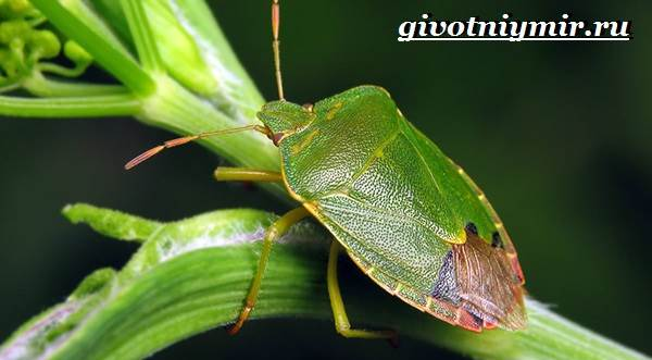 Жук-вонючка-Образ-жизни-и-среда-обитания-жука-вонючки-2