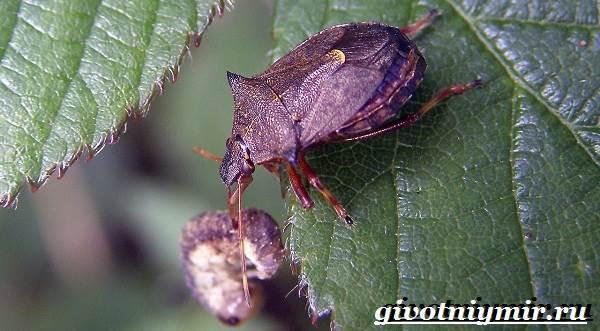 Жук-вонючка-Образ-жизни-и-среда-обитания-жука-вонючки-3