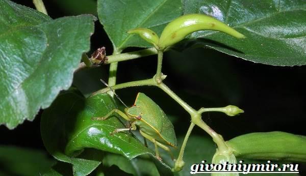 Жук-вонючка-Образ-жизни-и-среда-обитания-жука-вонючки-4