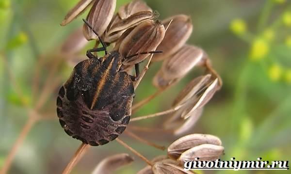 Жук-вонючка-Образ-жизни-и-среда-обитания-жука-вонючки-5