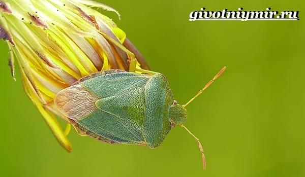 Жук-вонючка-Образ-жизни-и-среда-обитания-жука-вонючки-6