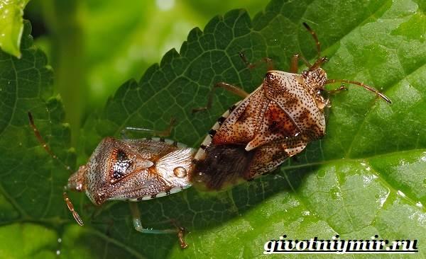 Жук-вонючка-Образ-жизни-и-среда-обитания-жука-вонючки-8