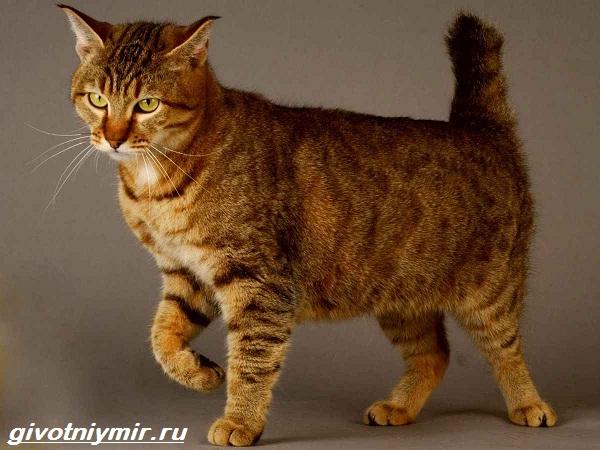 Пиксибоб-кошка-Описание-особенности-уход-и-цена-кошки-пиксибоб-111