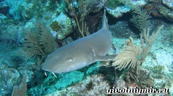 Акула-нянька-Образ-жизни-и-среда-обитания-акулы-няньки-6