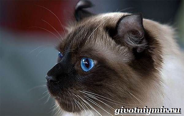 Американский-керл-кошка-Описание-уход-и-цена-кошки-американский-керл-2