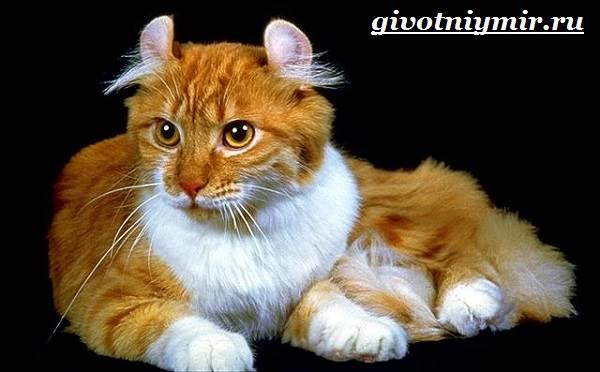 Американский-керл-кошка-Описание-уход-и-цена-кошки-американский-керл-3