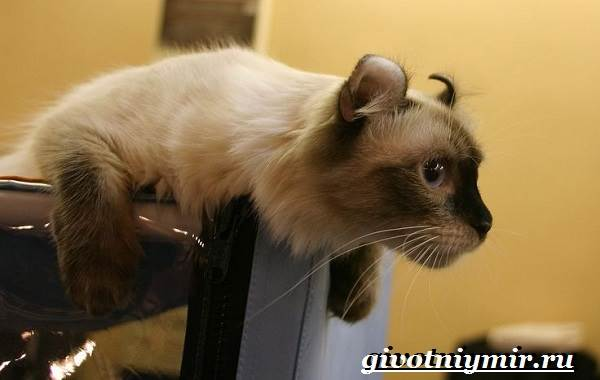 Американский-керл-кошка-Описание-уход-и-цена-кошки-американский-керл-4