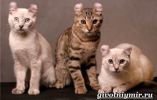 Американский-керл-кошка-Описание-уход-и-цена-кошки-американский-керл-5
