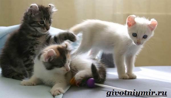 Американский-керл-кошка-Описание-уход-и-цена-кошки-американский-керл-7