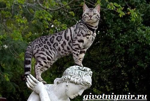 Ашера-кошка-Описание-особенности-уход-и-цена-кошки-ашера-1