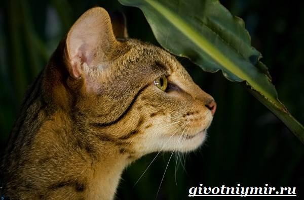 Ашера-кошка-Описание-особенности-уход-и-цена-кошки-ашера-6