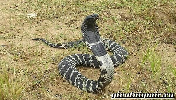 Аспид-змея-Образ-жизни-и-среда-обитания-змеи-аспид-8